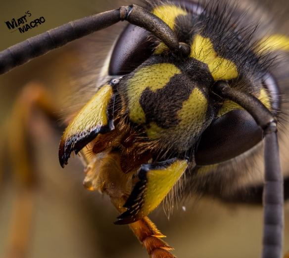 wasp up close