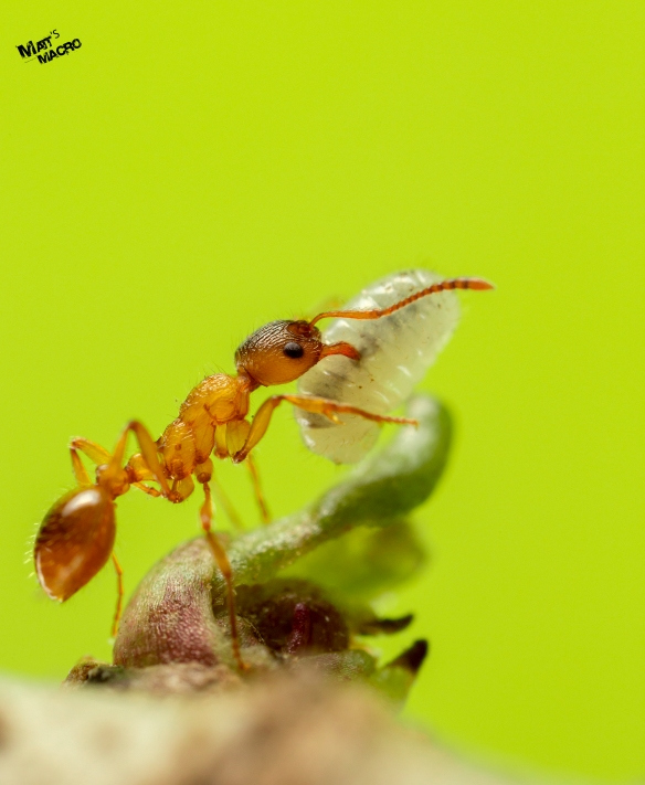 Ant with Larva