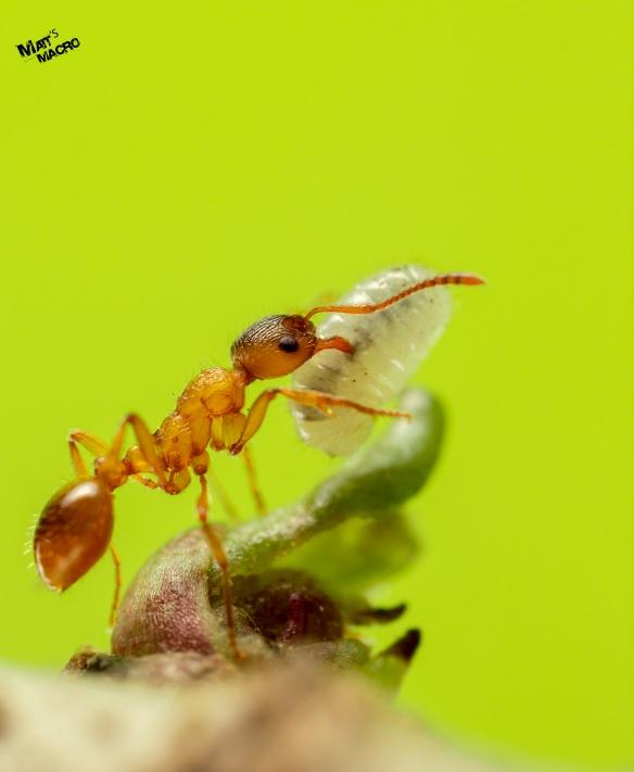 Ant with Larva